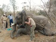 Lisa attaching a special monitor to keep an eye on the heart beat, blood pressure & oxygen levels  - note the stick inserted in the end of the trunk to keep it open for the elephant to breathe