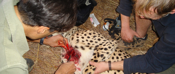 picture of Keith cleaning a dog bite wound in cheetah