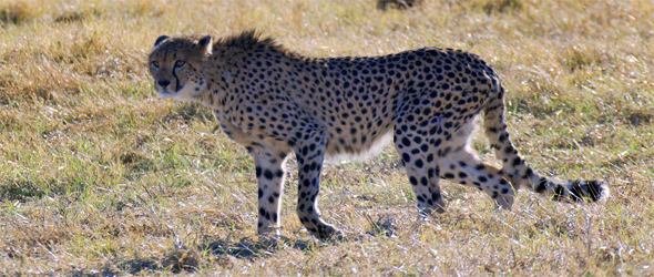 picture of cleo the cheetah