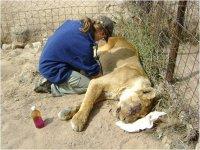 euthanasing lioness